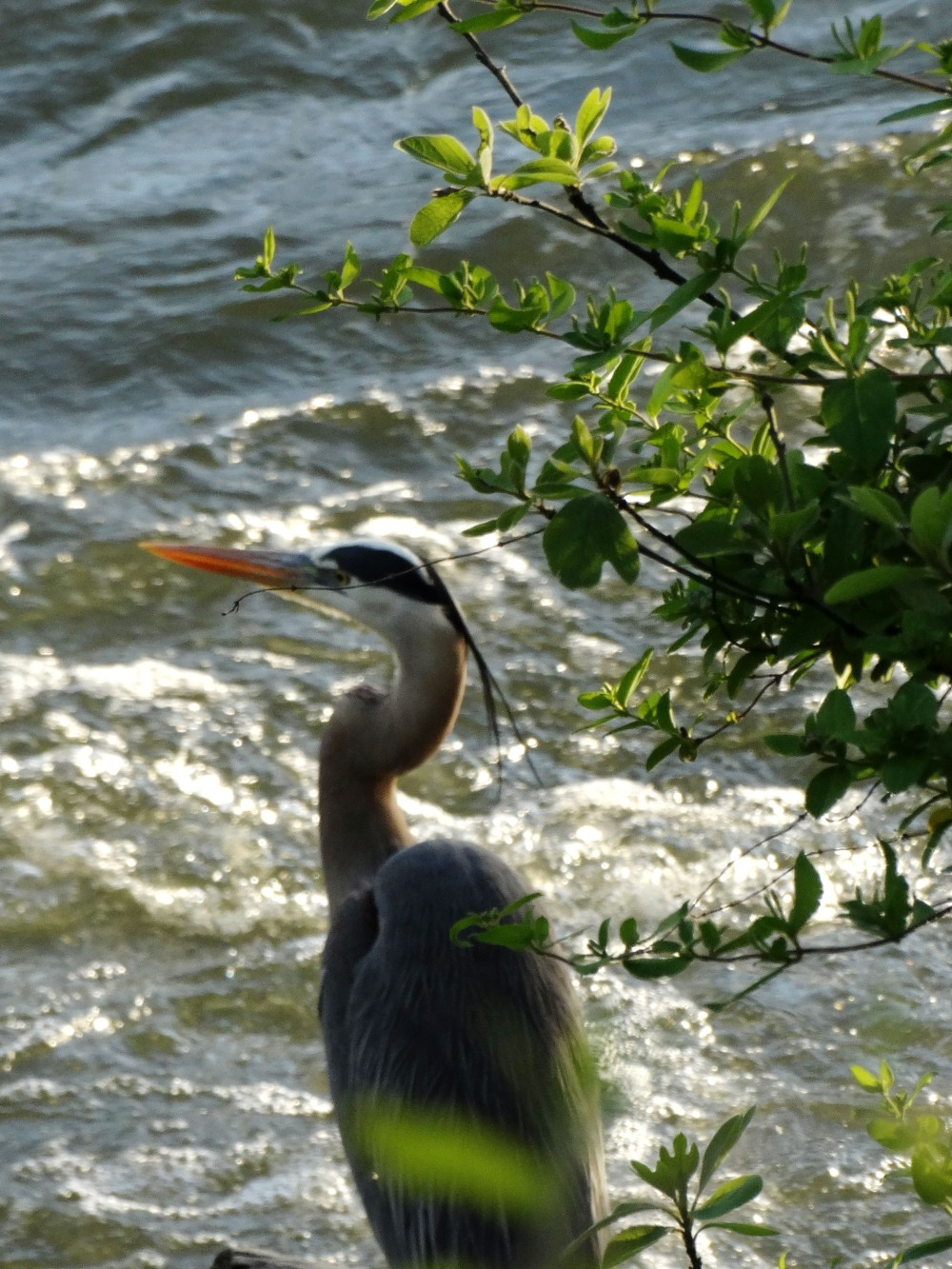 Close-up shot of a Great Blue Heron next to a river.