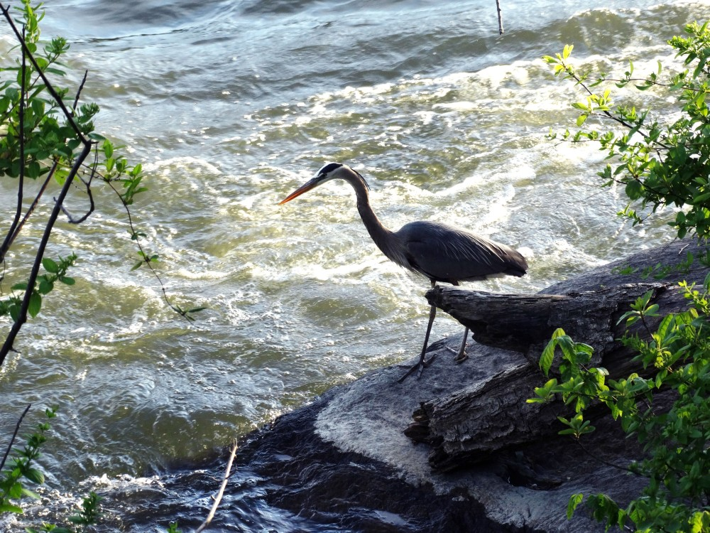 Image of a Great Blue Heron.