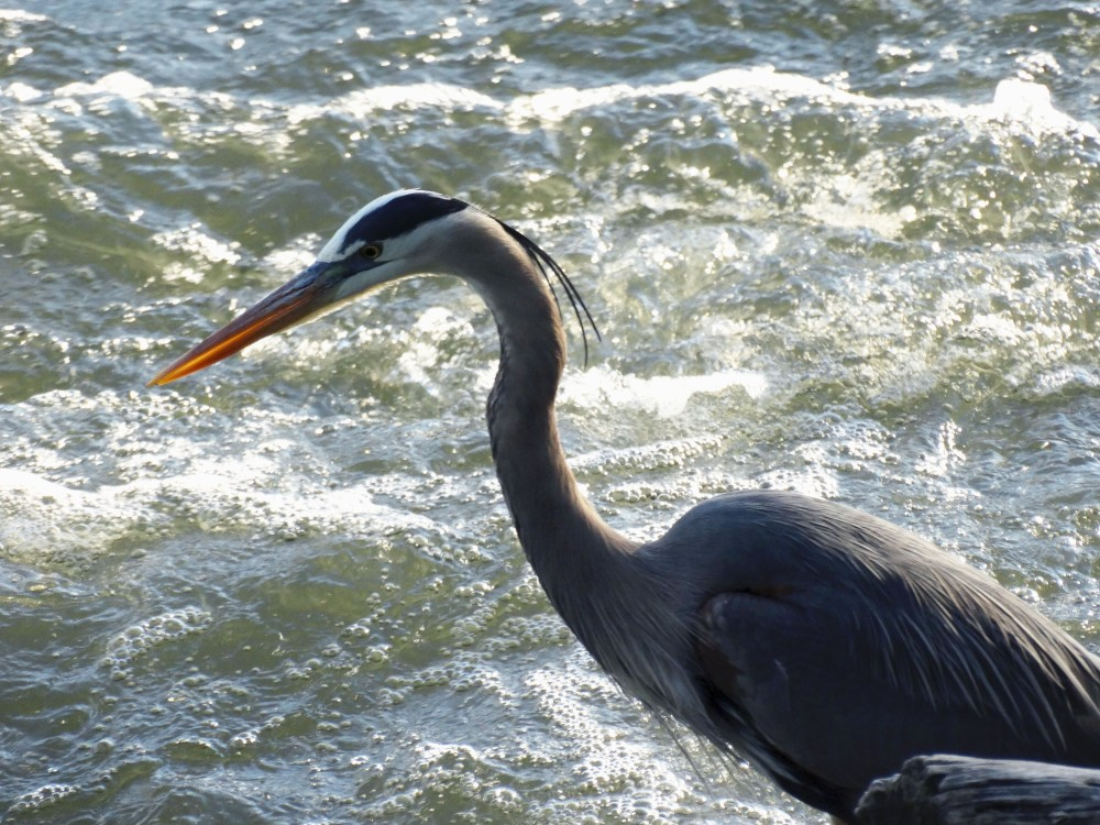 Another close-up shot of a Great Blue Heron.